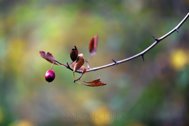 A dark red berr yis suspended from a twig in a cambridgeshire woodland