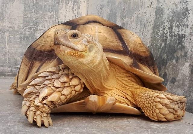 Các loại rùa cạn có thể nuôi cảnh tại Việt Nam và mức giá