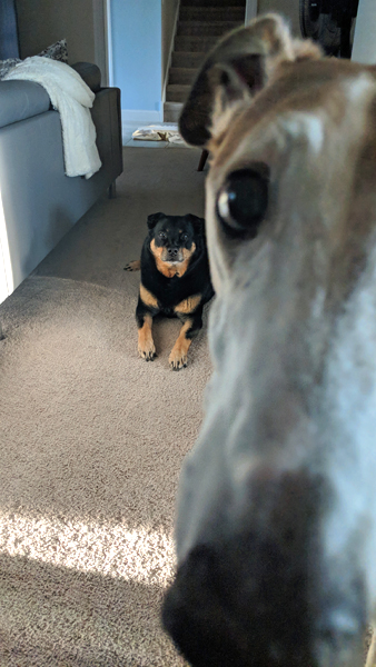 image of Zelda the Black and Tan Mutt lying on the living room floor, and Dudley the Greyhound's long snoot in extreme close-up blocking half the frame