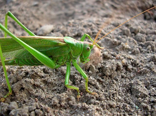 Jak samica pasikonika zielonego składa jaja?