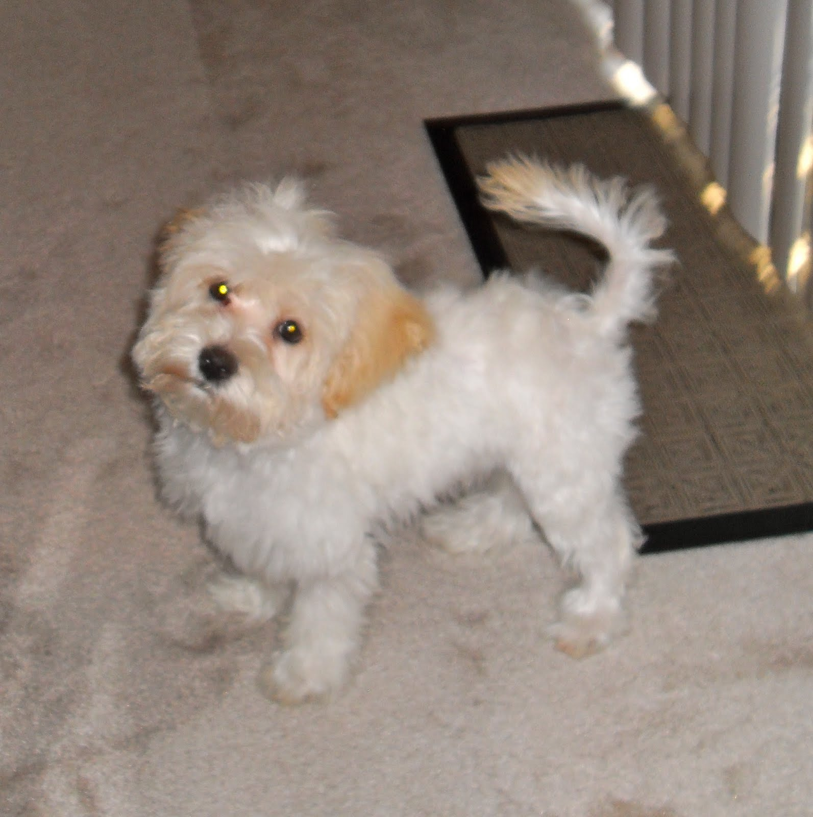Pomeranian Maltese Mix Gallery for maltese mix