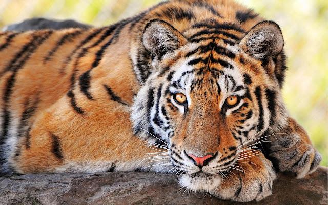tigre-imagens
