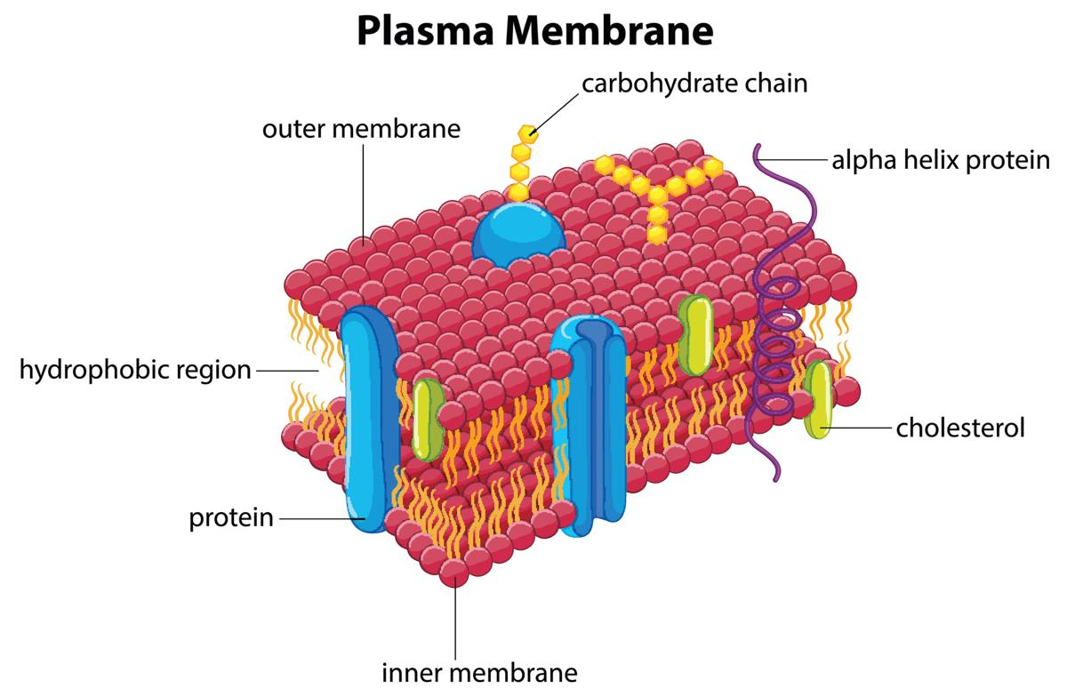 transport across membrane In cellular biology, membrane transport refers to the collection of mechanisms that regulate the passage of solutes such as ions and small molecules through biological membranes, which are lipid bilayers that contain proteins embedded in them.