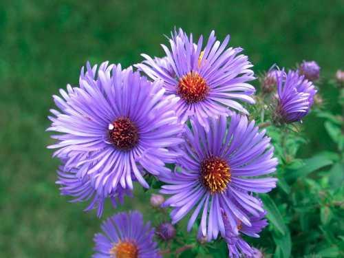A flor de Áster é atraente por seus caules longos e suas várias cores em tons de aquarela.