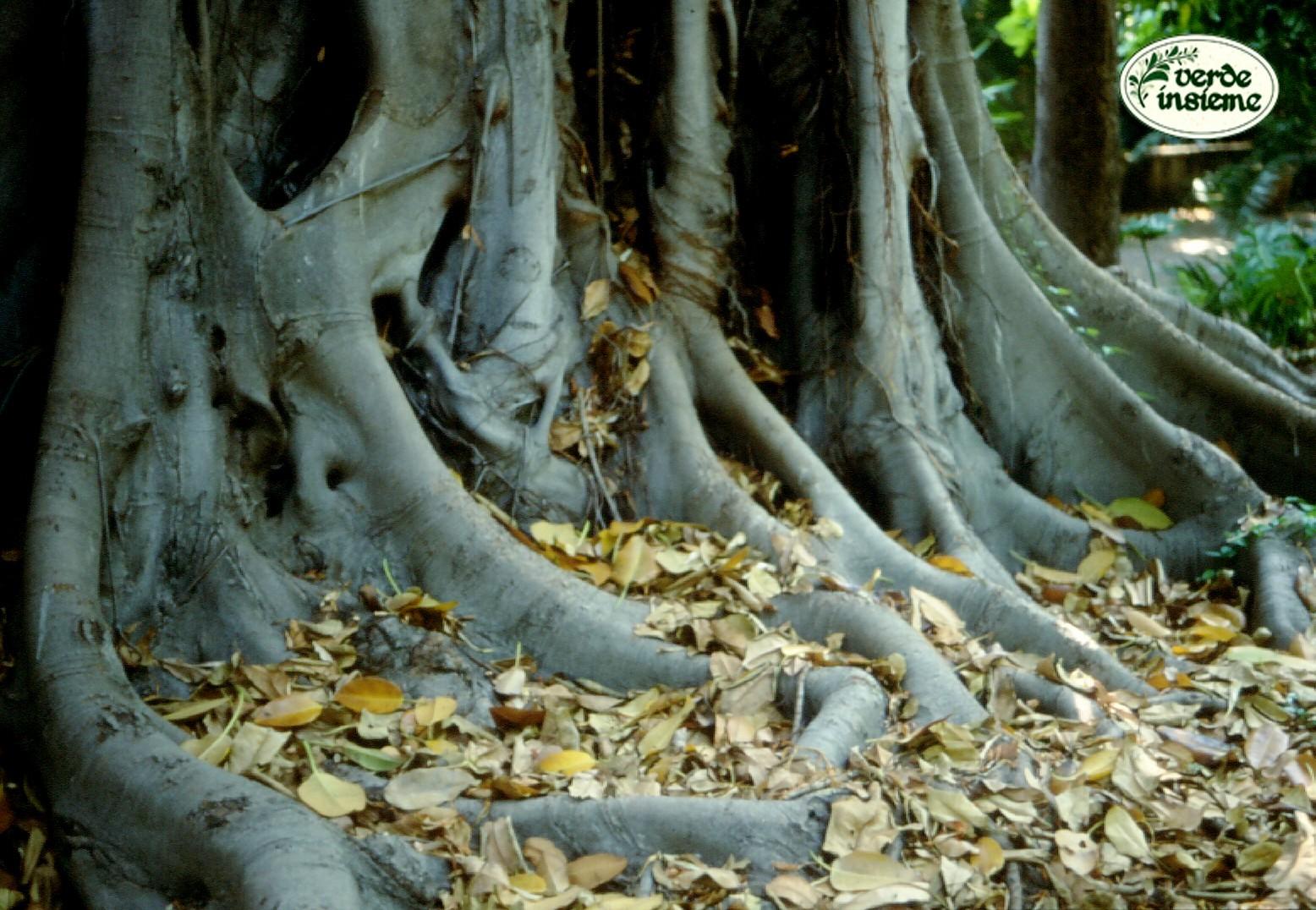 Potare Il Ficus Elastica dal vaso al giardino, radici in libertà