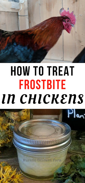 treating frostbite in chickens