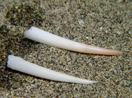 Dentalium vulgare