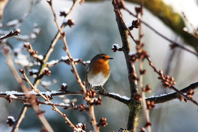 picture of Robin in Winter scene. Why are Robins on Christmas Cards?