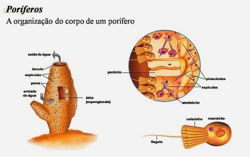 Poríferos ~ Biólogo Esperto