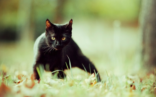 gato negro fondo de pantalla