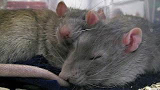 Sleeping gray rats