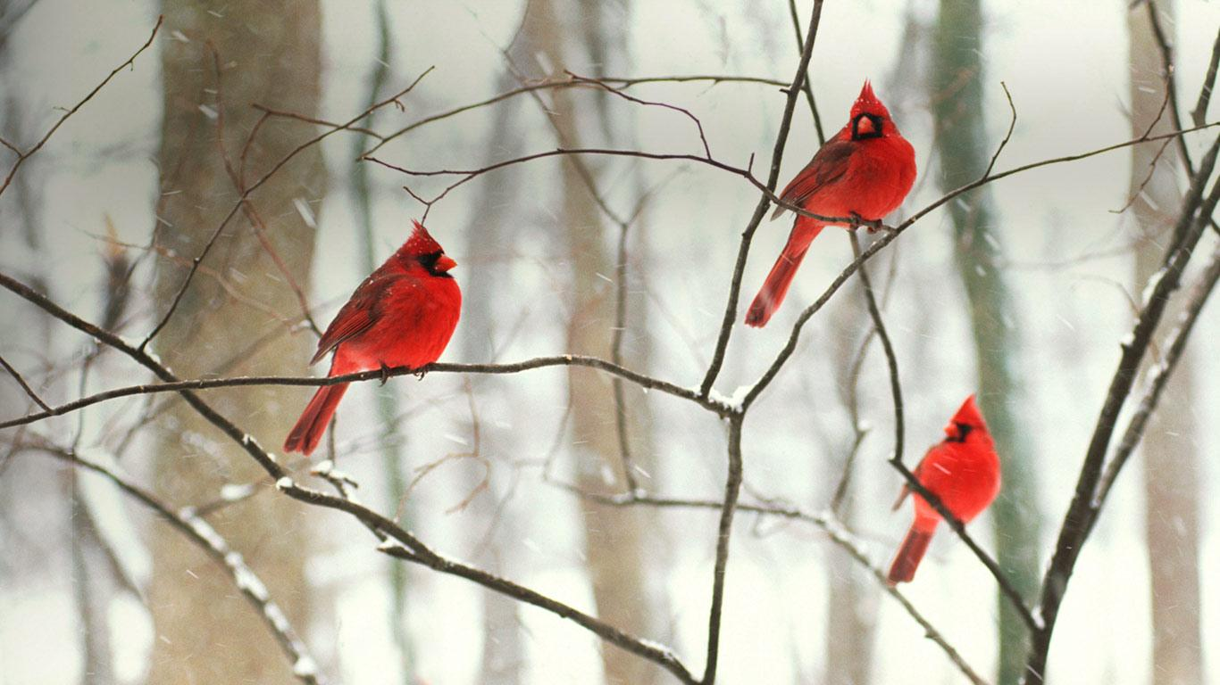 Joe 39 s book cafe 5 75 books challenge for 2013 librarything - Pictures of cardinals in snow ...