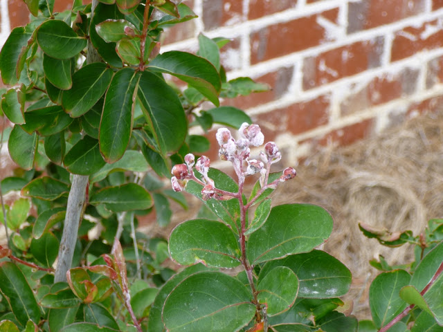 Geronimo crape myrtle flower buds afflicted with powdery mildew