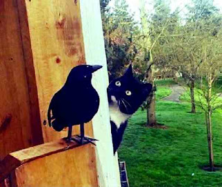 Magpie not afraid of cat