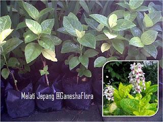 Melati Jepang (Pseuderanthemum Reticulatum)