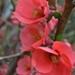 http://plantasmedicinalesatusalud.blogspot.com.ar/2014/11/membrillero-japones.html