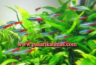 Harga Ikan Neon Tetra Cardinal Terbaru