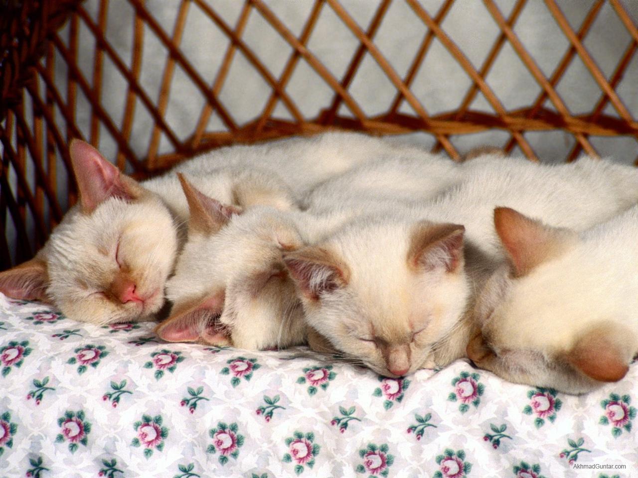Harga Cengkeh Dunia Icefilmsinfo Globolister Kucing Dengan Keturunan Campuran Seperti Kucing Liar Atau Kucing