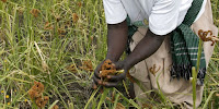 Harvesting millet in northern Uganda. (Image Credit: DFID via Flickr) Click to Enlarge.