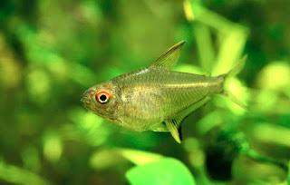 Lemon Jenis Ikan Tetra Terpopuler