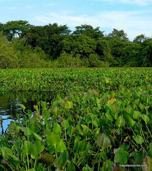 Aguapé bico de pato, vegetação aquática característica do Pantanal
