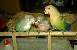 perawatan lovebird anakan untuk lomba,perawatan lovebird bakalan,perawatan lovebird muda agar ngekek panjang,perawatan lovebird muda untuk lomba,perawatan lovebird muda juara,