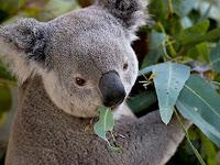 17 Fakta Menarik Koala yang Menggemaskan
