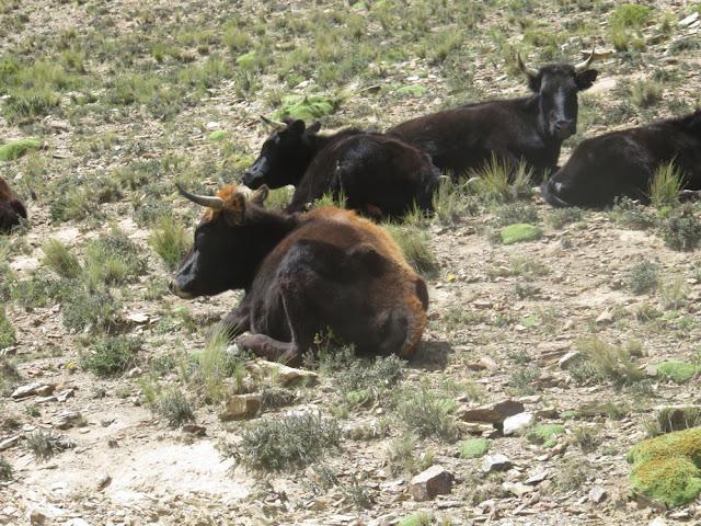 Nachdem es auf 4500 m Höhe wenig für die Kühe zum Fressen gibt, ruhen sie sich eben aus.