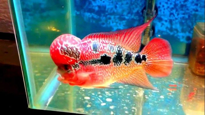 Gambar Ikan Luohan