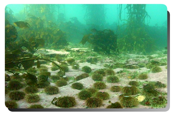 Green sea urchins under the ocean