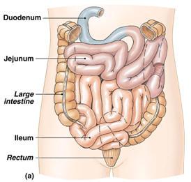 Sistem pencernaan, Usus halus, usus besar, dan Anus