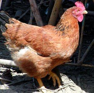 Foto de una gallina de perfil