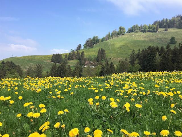 Löwenzahnblumenwiese auf Seebodenalp und im Hintergrund der Weg über Rigi Holdern nach Rigi Staffel