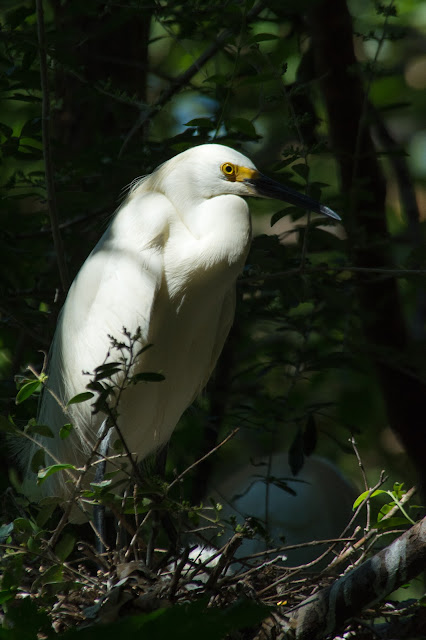 Snowy Egret, UT Southwestern Medical Center Rookery