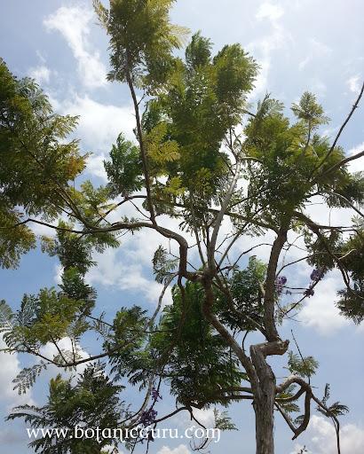 Jacaranda obtusifolia, Jacaranda tree