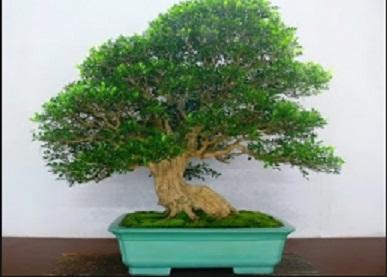 Murraya Paniculata Wallpaper