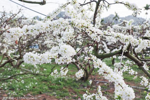 台中豐原|2019公老坪李花開|李花隧道|一串串白色花朵像棉花糖