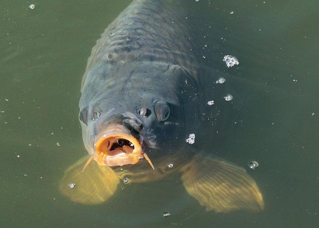 Umpan Ikan Mas Super untuk Lomba