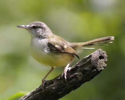 Foto Burung Ciblek