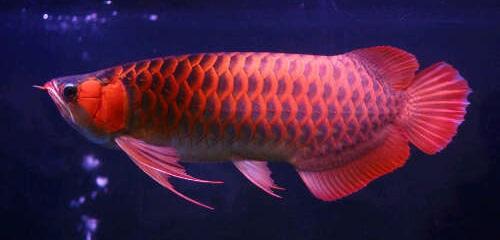 Arwana Super Red - Budidaya Ikan