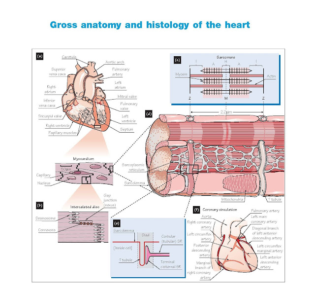 Gross Anatomy And Histology Of The Heart, Structure of the myocardium, Coronary circulation