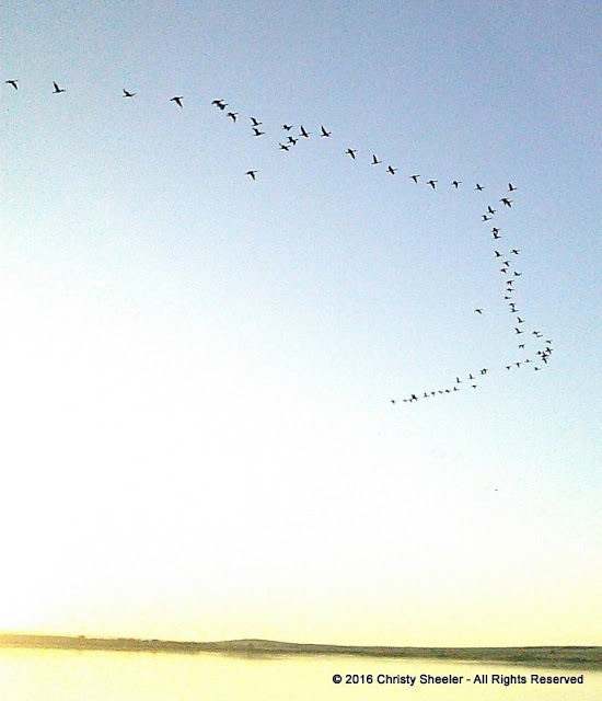 A flock of geese fly overhead in a wide-V formation.  They fly over the lake several times, perhaps catching bugs in the air.