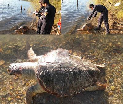 Ηγουμενίτσα: Μία ακόμα νεκρή χελώνα καρέτα - καρέτα