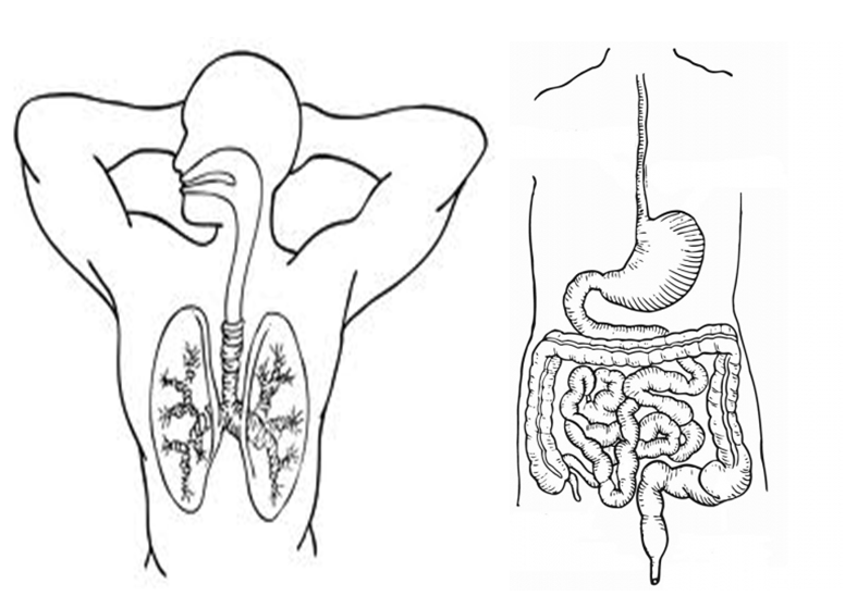 Dibujo Aparato Digestivo Para Colorear Imprimir: Sistema Digestivo Para Colorear Mudo
