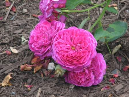 The Stubborn Gardener Tenacious Tip Tuesday The Roses