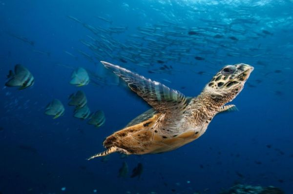 sex determination in sea turtles