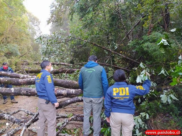 Investigan tala en bosque nativo en el Parque Nacional Alerce Costero