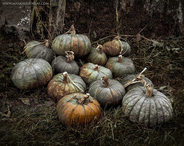 Samhain pumpkin of my organic garden, mandragoreae, aker dantzaria, victoria francés