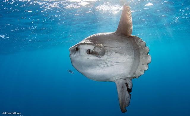 Mola-Mola atau Sunfish : Si Ikan Matahari Yang Suka Berjemur tapi Penuh Parasit