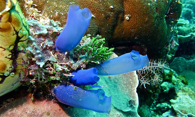 facts about bluebell tunicates